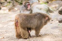 2016-06-17-16h52m48.BL7R0225 (A.J. Haverkamp) Tags: canonef100400mmf4556lisiiusmlens amsterdam zoo dierentuin httpwwwartisnl artis thenetherlands japansemakaak japanesemacaque dob09062016 pobamsterdamthenetherlands
