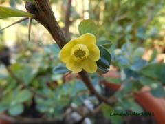Berberis Temolaica 1 (Landstrider1691) Tags: blue tree yellow bush shrub spines spiny berberis smalltree