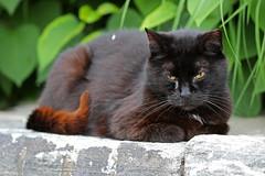 Roosevelt Island black cat (@harryshuldman) Tags: new york city nyc black macro nature cat canon island eos mark manhattan roosevelt ii 7d stray neko feral