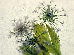 Vintage Floral (Anne Worner) Tags: flower macro texture leaves closeup backlight three bubbles layers blooms segments vintagelook ononesoftware anneworner