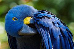 Hyacinth Macaw (Joey Hinton) Tags: animal zoo nashville tennessee wildlife olympus macaw f28 hyacinth omd grassmere m43 mft 40150mm em5 microfourthirds
