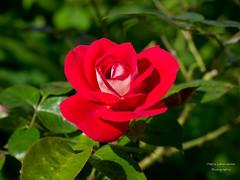 """Rose """"Heimatmelodie"""" (gartenzaun2009) Tags: rose blumen garten doublefantasy asy heimatmelodie"""