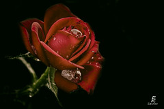Roses Passion (series) (FgKs By DelocK OFF/ON) Tags: roses flower fleur rose canon rouge claudedelock fimographikestudio fgks claudedelockphotographie