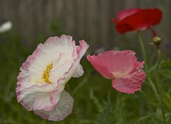 various poppies (Pejasar) Tags: poppies blooms foliage garden fence pink red white ruffled