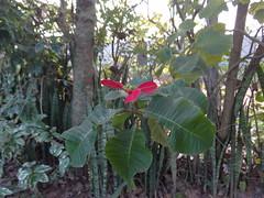 DSC04772 Flor Bico De Papagaio (familiapratta) Tags: flowers flores flower nature iso100 sony natureza flor hx100v dschx100v