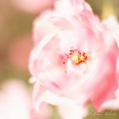 (kinga.lubawa) Tags: flowers flower rosa kwiaty kwiat kolory róża kolorowe różowy różowe