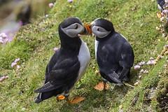 20160619_Puffin Love (Damien Walmsley) Tags: love puffin shetlandislands