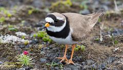 Sandla - Ringed Plover - Charadrius hiaticula (raudkollur) Tags: birds iceland sland ringedplover charadriushiaticula fuglar sandla nikond7200 nikkor200500mm