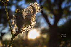 Polen 162_2016_6135 (Jos Martn-Serrano) Tags: proyecto proyecto366 proyecto365 365 366 polen contraluz atardecer sunset sun