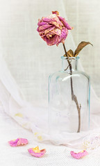 Little Bottle with Dried Rose (ocanannain) Tags: pink flowers roses stilllife rose closeup bottle little dried perennial s2f tabletopphotography kimklassen s2fclass