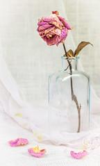 Little Bottle with Dried Rose (ocanannain) Tags: pink flowers roses stilllife rose closeup bottle little dried perennial s2f tabletopphotography kimklassen s2fclass