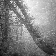 . (melcolliephoto) Tags: trees wood cornwall portreath mist rain