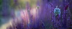 (Franci Van der vyver (Carmen Tulum)) Tags: garden purple path salvia allium crimsonscabiousseedhead