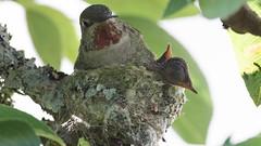Hummingbird Nest (photosauraus rex) Tags: bird hummingbird hummingbirdnest hummingbirdyoung