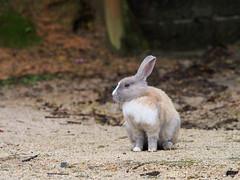 B6250629 (VANILLASKY0607) Tags: rabbit bunny bunnies nature animal japan photo wildlife wildanimal hydrangea rabbits rabbitisland wildrabbit okunoshima