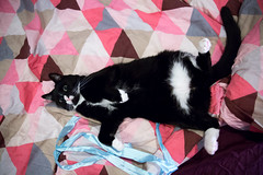 Paint me like one of your french girls (Fardo.D) Tags: karel tuxedo kitty belly fluff bed