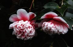 Volunteer (Lesley A Butler) Tags: flowers winter plants nature garden australia victoria sherbrooke camellia mcleod parksvictoria georgetindalememorialgarden camelliavolunteer