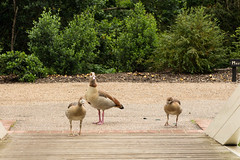 Bridge guards (Graham Dash) Tags: painshillpark painshill cobham surrey birds geese egyptiangeese goslings