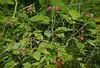 \|/ Fruiting Wild Raspberry \|/ (Wolverine09J ~ 1 Million + Views) Tags: nature minnesota wildraspberry summerflora naturescreations endofjun16