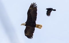 Eagle and Crow (nickinthegarden) Tags: crow americanbaldeagle abbotsfordbccanada