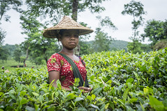 Srimangal-6187 (BohemianTraveler) Tags: asia tea bangladesh srimangal srimongol sreemangal