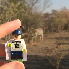 Chillin with the Zebras in South Africa! (X39BrickCustoms .com) Tags: mini minifigs legominifigures wilderness trees safari africa lungcancer blue white capes capemadness animals zoo zebra southafrica footballteam ball american football seahawks 12thman 12 bricks legos lego