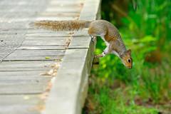 Grey Squirrel (meccabolix) Tags: fe 70300mm f4556 g oss sel70300g a7rii sony