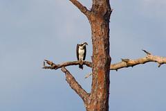 IMG_0053 (wfl_photog79) Tags: honeymoonisland florida dunedin pinellascounty