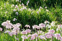 17Yamada Pond Park (anglo10) Tags: flower japan