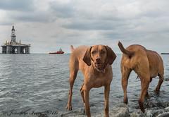 Heather Double Exposure!_6220143 (www.jonathan-Irwin-photography.com) Tags: exposure heather vizsla double hungarian