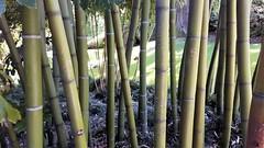isole borromee (19) (giangian239) Tags: lago acqua blu giardino maggiore albero verde prato statua monumento isola isole borromee madre bella superiore panorama paesaggio lungolago bamboo
