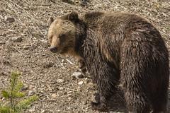 Peek-a-boo {Explored} (ChicagoBob46) Tags: grizz grizzly grizzlybear bear cub cuboftheyear coy yellowstone yellowstonenationalpark nature wildlife explored explore