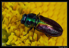 Anthaxia fulgurans femelle (cquintin) Tags: arthropoda coleoptera buprestidae ctedor anthaxia macroinsectes fulgurans
