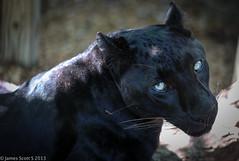 20130505 5DIII Panther Ridge-284 (James Scott S) Tags: cats animals canon scott lens eos james big eyes dof meetup florida wildlife s ridge ii wellington l felines fl dslr panther 70200 f28 ef lr4 5diii