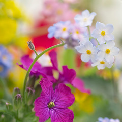 Spring abstract (photoart33) Tags: flowers macro floral square soft softfocus forgetmenot honesty myosotis persephonesgarden