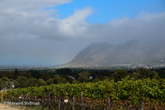 Table Mountain overlooking the vinyard at Groot Contantia