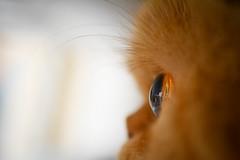 Eye of the tiger (Dor Kremer) Tags: macro eye cat israel nikon ornge d5200