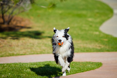 Ruuun! (Anda74) Tags: grass ball spring action running bordercollie ouzo canonef70200mmf28lusm