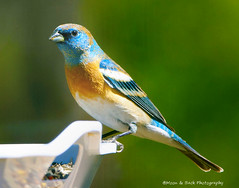 LAZULI BUNTING  & HAPPY MOTHER'S DAY (Aspenbreeze) Tags: bird birds colorado wildlife bunting songbirds wildbird coloradowildlife aspenbreeze moonandbackphotography bevzuerlein lazuliebunting