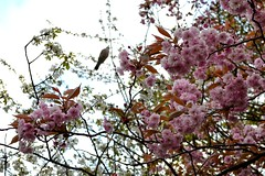 The Bird and The Blossom (jennyharper) Tags: pink flowers tree bird spring blossom pidgeon