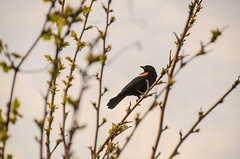 Red-Winged in the Portlands (Ben Roffelsen) Tags: toronto valley don blackbird channel keating redwinged blogto portlands torontoist