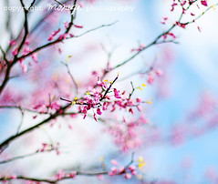 in flickr colors (~moniqe~) Tags: pink flowers blue sky tree nature petals spring dof bold ~moniqe~