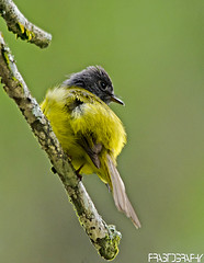 Grey-headed Flycatcher (Culicicapa ceylonensis) (prasanth2406) Tags: india color nature photography nikon colorfull wildlife indian national catch chennai nationalgeographic flycatcher innovative prasanth greyheaded nikor nikondslr indianbirds culicicapaceylonensis greyheadedflycatcher culicicapa ceylonensis nikond7000 prastography prasanthphotos