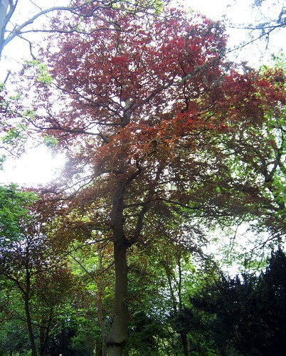 COMMON-BEECH-TREE (Fagus-sylvatica)
