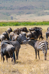 DSC_7773.jpg (discdropr) Tags: animals safari trips wildebeest zebras