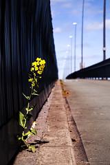 Resilience 152/365 (deep blue2) Tags: urban flower weed motorway walk portishead growing 365 cyclepath m5 portbury nikon1855mm avonmouthbridge