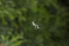 Spider eating series 10 (Richard Ricciardi) Tags: spider eating web spinne araa  araigne ragno timeseries     gagamba    nhn  spidertimeseries