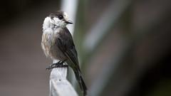 568A9068.jpg (CookiesForDevo) Tags: canada wildlife places greyjay salmoniernaturepark newfoundlandandlabrador