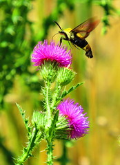 In the Thick of It (ArielSD) Tags: nature canon virginia hummingbird thistle moth moths hummingbirdmoth hummingbirdclearwingmoth thistleflower inthethickofit arielsd
