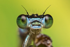 # 61 (Trstenjak) Tags: hairy macro closeup canon insect eyes head background flash extreme tubes stack ring slovenia extension reverse damselfly f28 diffused hairs tadej elegans magnification elnikkor ischnura 100d macrophotograph trstenjak